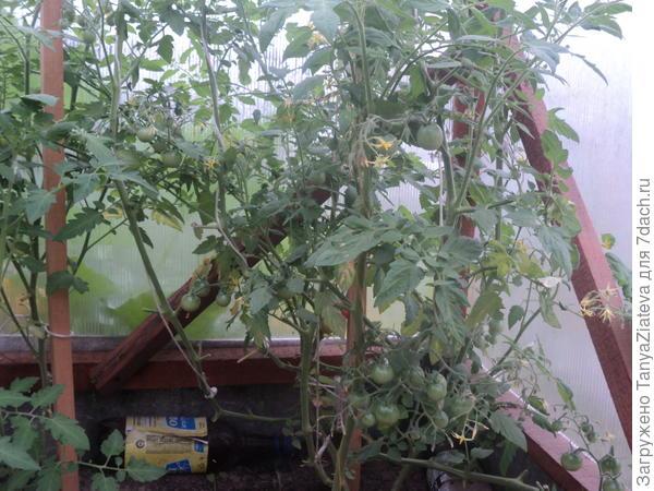 это Черри вишня красная. Несколько созревших плодов я съела еще в конце июня - очень сладкие! а эти пока висят зеленые. но их много!!!