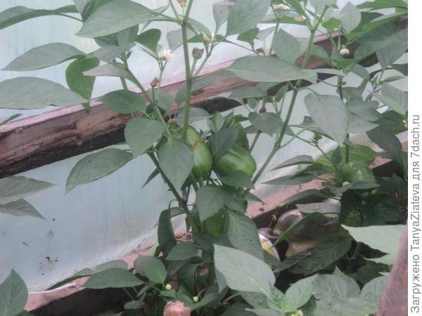 перчики из семян перца, купленного в Магните