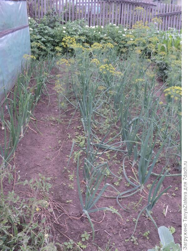 лук, слева - эксибишен, справа севок