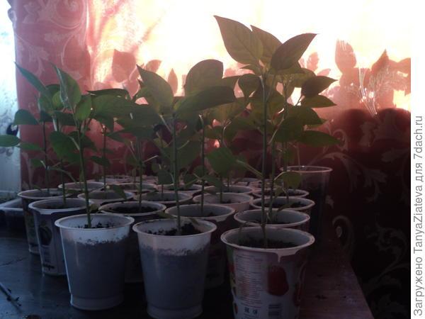 вот это из семян магазинного перца, посеянная 28.01