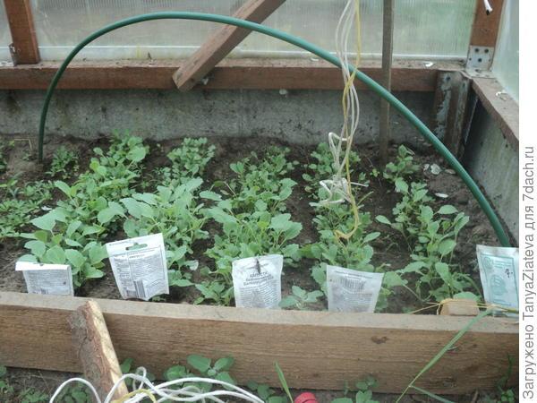 а вот эту капусту посадила недели через 2 после первой. взошла вся и активно подрастает........и куда я буду девать столько капустной рассады????