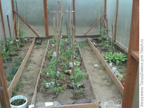 общий вид от двери теплицы, примерно половина помидоров высажена.