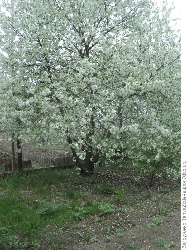 а это - не в теплице, это моя радость и гордость - вишенка! сладость моя! в прошлом году мои вишни во время цветения попали под сильный заморозок и ягод я насобирала с 2 больших деревьев всего на 3 баночки компота.. а в этом году им никто не помешает отцвести и завязать плоды! я просто счастлива!!! мои красотки распустились за 2 дня)))