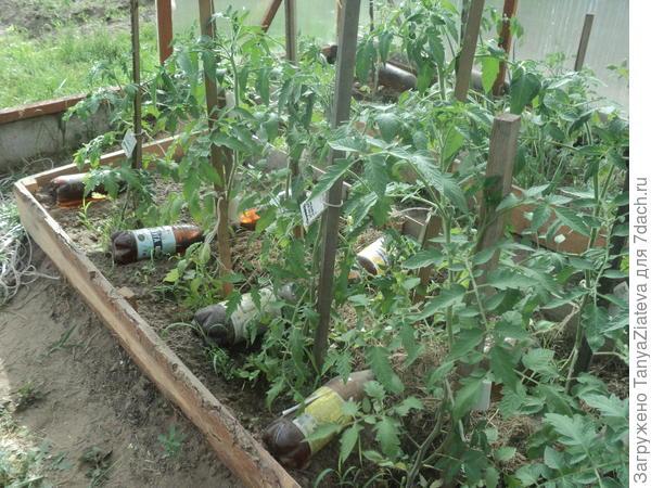 Между кустами томатов уложены бутылки с водой. за день они нагреваются, становятся довольно горячими, а ночью отдают свое тепло теплице.