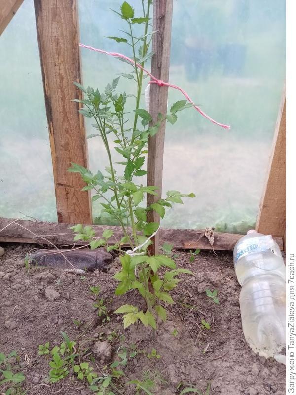 Можно ли опознать томат Волшебная арфа на фото?
