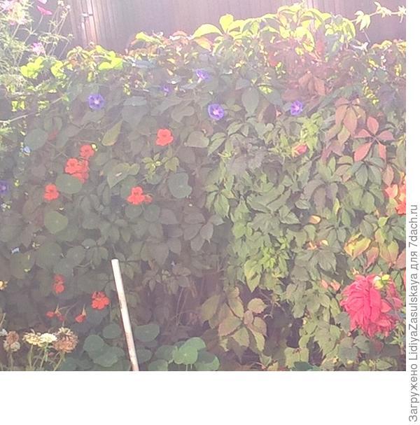 Виноград с цветами