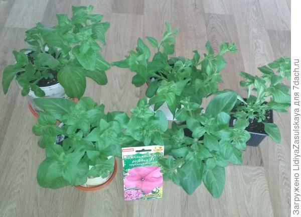 Растения 17.04. 2 месяца и 5 дней от посева