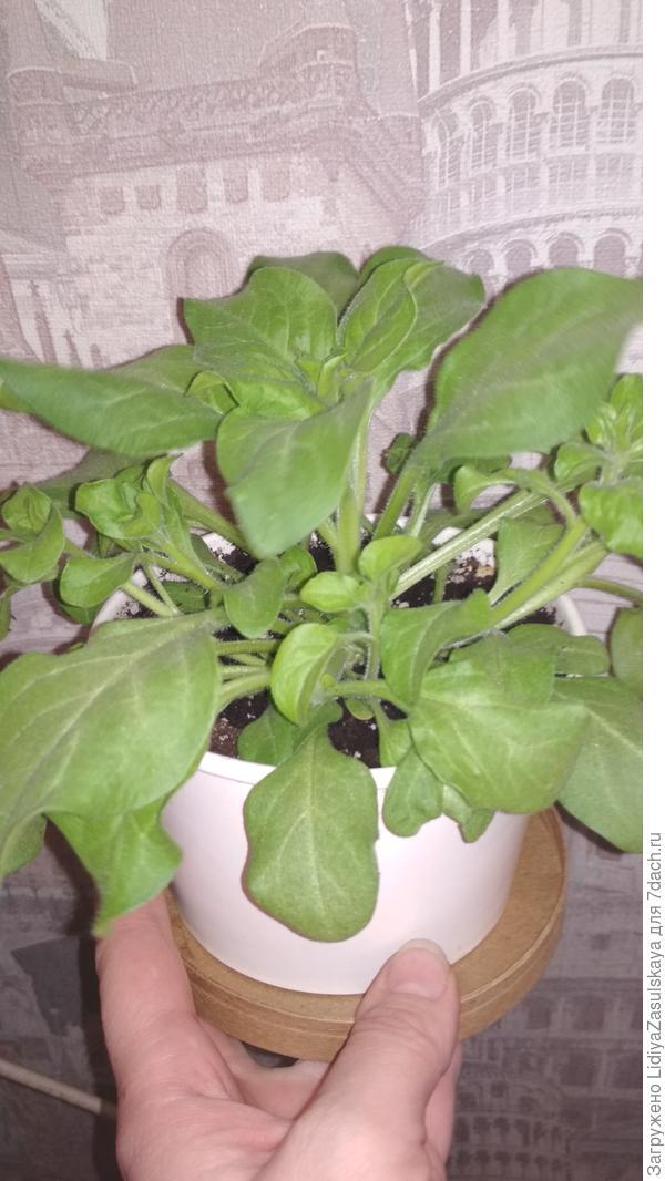Растения после обрезки гораздо лучше кустятся, выпуская боковые побеги
