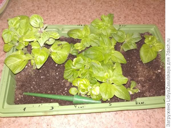 Через 17 дней растения готовы к пересадке