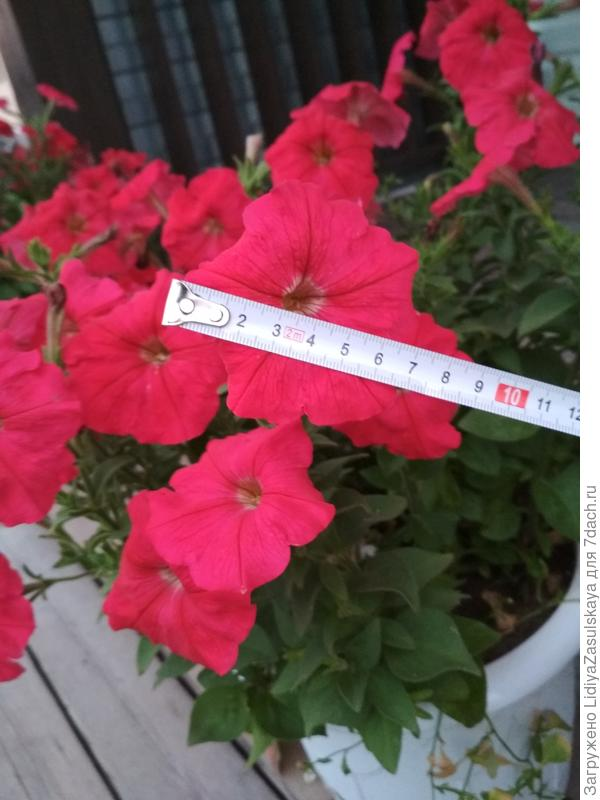 диаметр цветка 8см
