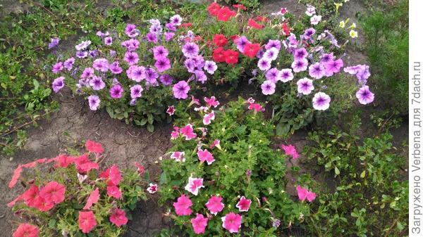 Августовское цветение петунии Мария F1 (фото от 14.08.18)