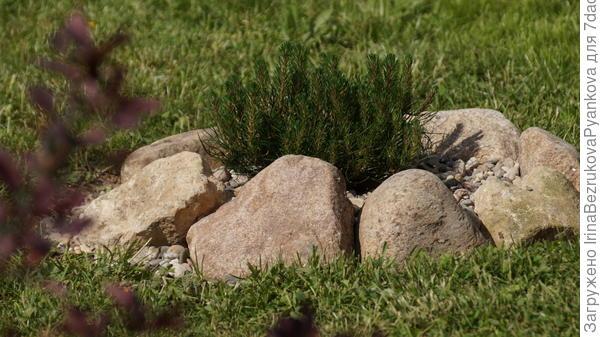 пока маленькую сосенку,высаженную на газоне,обложила камнями,чтоб случайно не скосить газонокосилкой