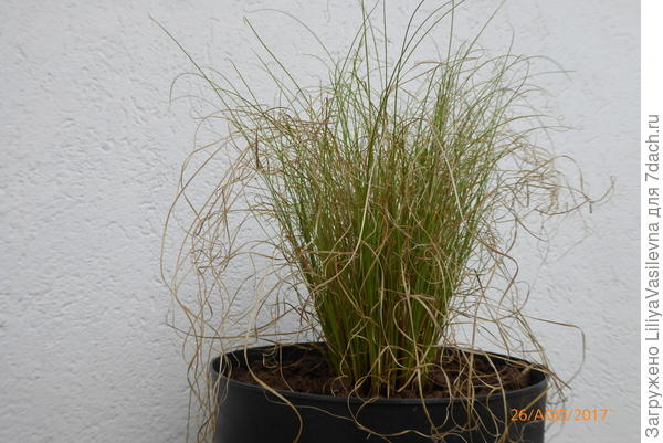 злак, трава декоративная-- условия ? название?