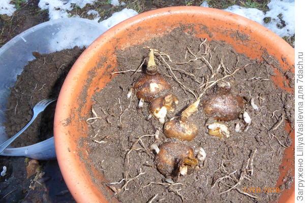 луковицы и детки гимелокаллус