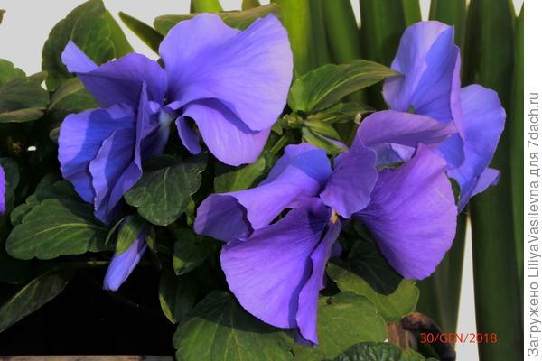 Виолы голубо-розово-лиловые
