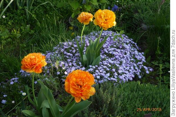 Обожаю эти оранжевые! крупные , 14 и 15 см тарелочка! в пошлом году посадила  по одному здесь, дали по детке