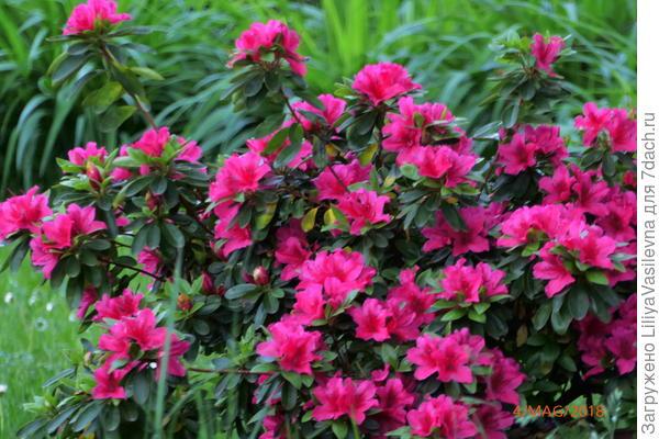 в этом году у неё цветение не очень обильное. В прошлом году-- не было видно листьев. Все отцвёвшие цветочки я выщипывала.