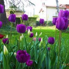 Под покровом деревьев и вечернем дождевании холодной водой  тюльпаны держат цветок по 3-4 недели !