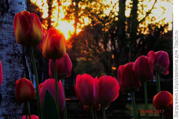 Тюльпановый закат . Под берёзами.