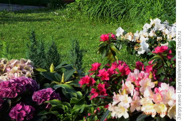 готензии на этих фото-- куплены цветущими этой весной