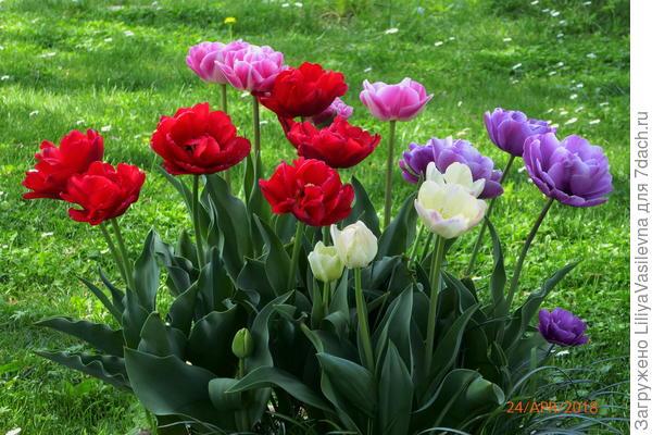 даже тюльпаны попробовала в этом году в контейнере . Курьёз-- это был микс -- сортировала их по цвету, вернее, оттенку,  луковичек , что бы композиция была .