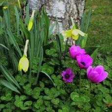 первоцветы под берёзами