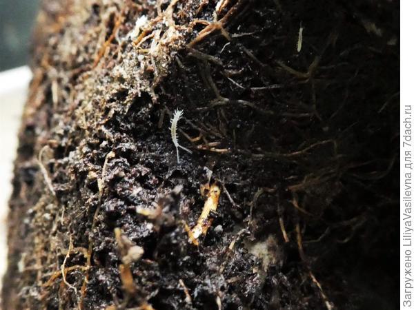 живность в корнях гортензии