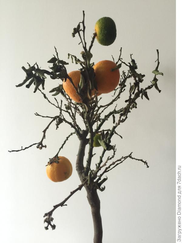 Мандариновое дерево сохнет(