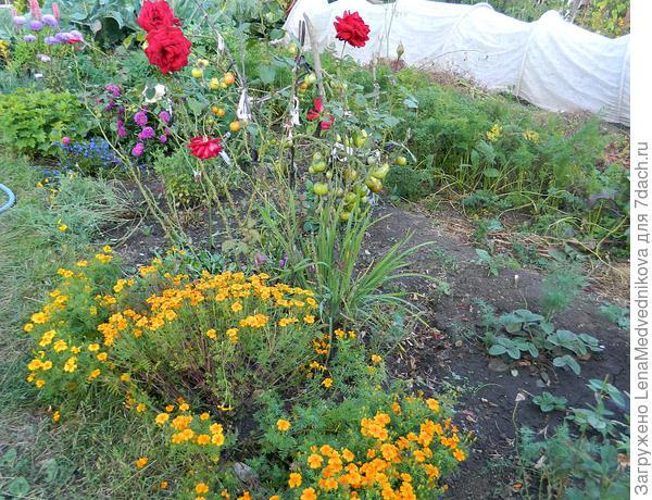 Розы и бархатцы тонколистные