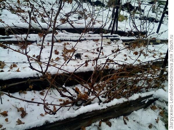 виноград в снегу