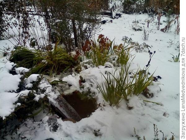 ирисы под снегом