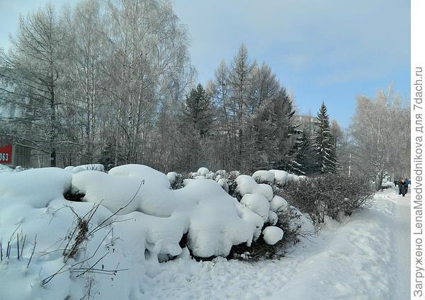 Все кусты в снегу