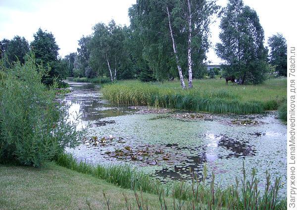 Лилии в прудах