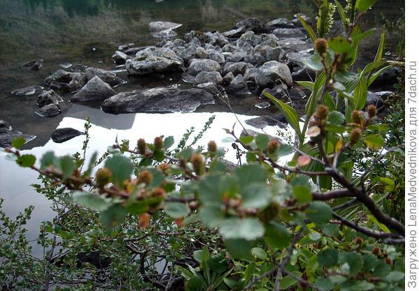 Карликовая березка у воды