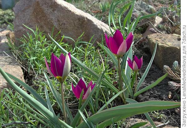 Видовые тюльпаны