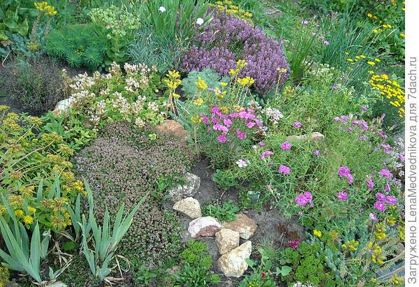 Здесь два вида чабреца: слева внизу - ползучий вид уже отцветает, и выше - обильно цветет другой вид. Справа - гвоздики