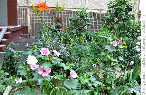 Лаватера в любительском саду