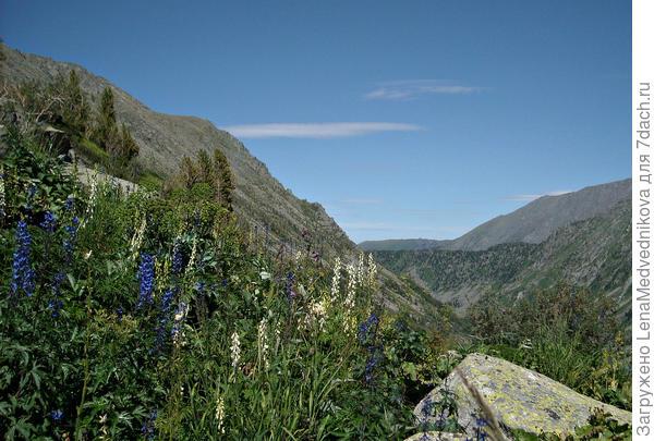 Акониты в алтайских горах
