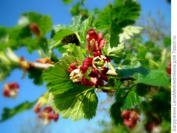 Цветы йошты Фото с сайта http://dic.academic.ru/dic.nsf/ruwiki/1273145