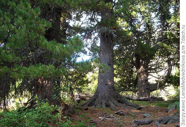 Мощные стволы и корни кедров  Фото автора