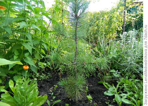 Кедр в саду Фото автора