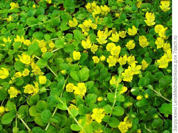 Вербейник монетчатый цветет. Фото с сайта http://vsi-roslini.com.ua/verbejnik-monetchatyj