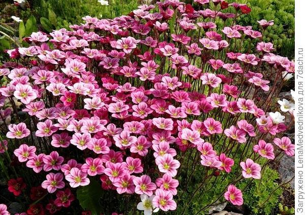 Камнеломка Арендса в цвету. Фото с сайта http://koffkindom.ru/