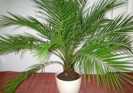 это финиковая пальма