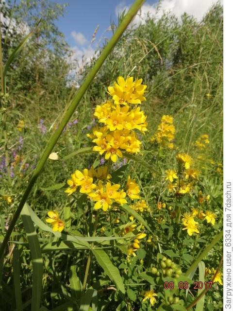 Вербейник обыкновенный, Lysimachia vulgaris, встречается на любом сыром лугу