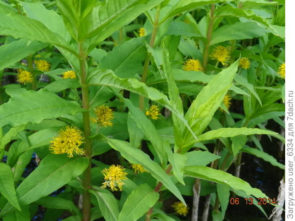 Вербейник же кистецветный или наумбургия растет всегда в воде. Может использоваться как украшение водоемов