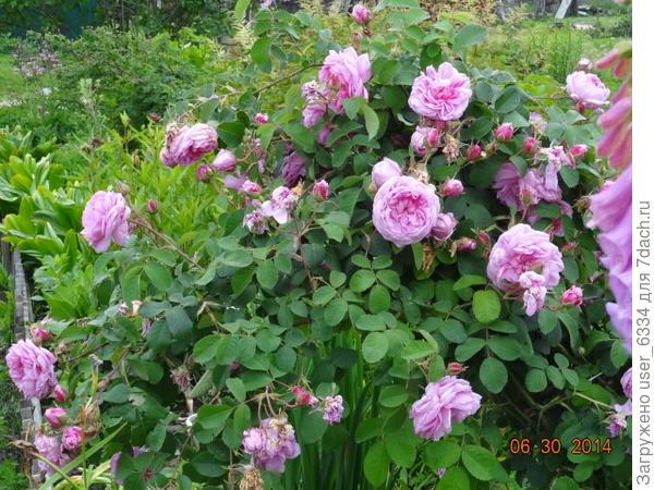 безымянная роза старинного типа, ещё и размножающаяся подземными побегами, как местный дикий шиповник