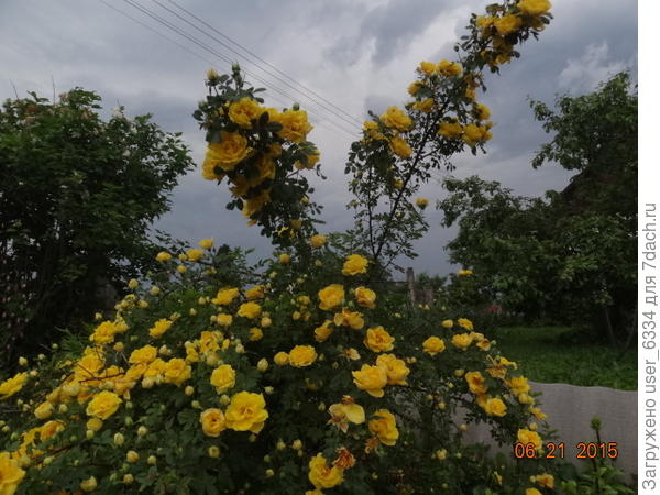 Так себя ведут Персиан Йеллоу, сорт розы вонючей(Rosa foetida) в нашем саду.
