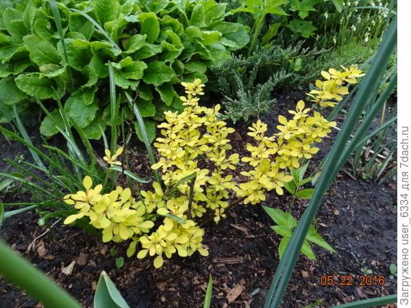 Вот подросший, трехлетка, кажется. а вот потомства Голден Ринга  хотя и интересное, но в основном зеленое, красноваты только молодые листья весной ну и осеннее окрашивание имеет место быть.