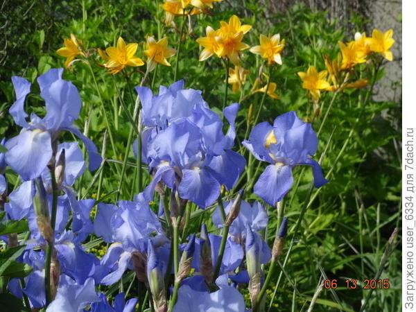 как раз по теме- голубые, а ещё быстрорастущие. обильноцветущие и со сравнительно неболючей листвой, которая не удручает глаз печально-пятнистым видом после срезки цветоносов.